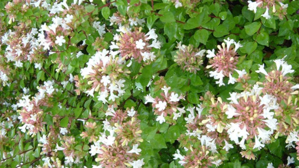 Staggering Deer Me What Can I Plant That Bambi Sourn Living Rose Creek Abelia Care Rose Creek Abelia Images houzz-03 Rose Creek Abelia