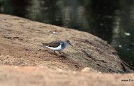 ביצנית לבנת בטן / Common Sandpiper  / Actitis hypoleucos