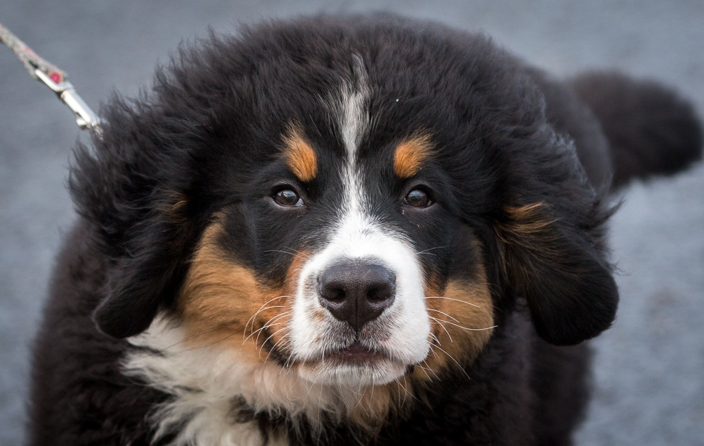Fullsize Of Bernese Mountain Dog Lifespan