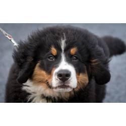 Small Crop Of Bernese Mountain Dog Lifespan
