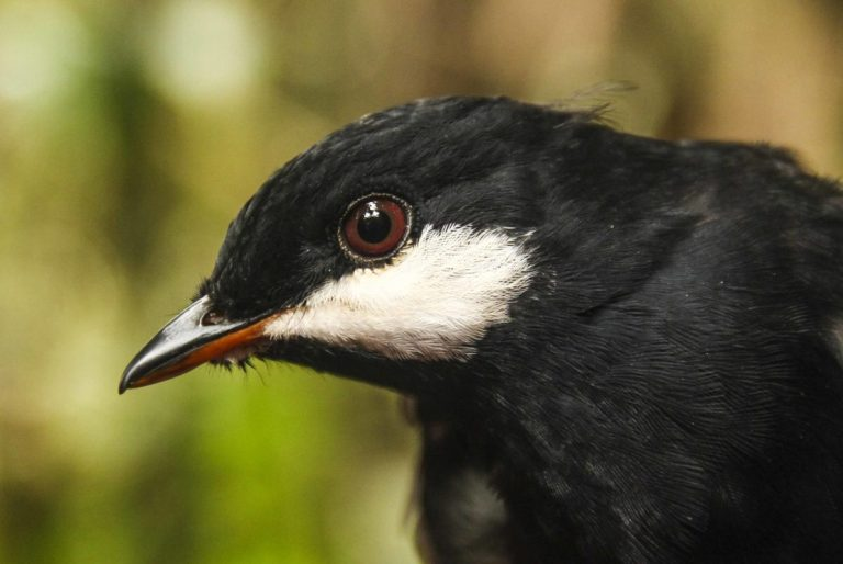 The range of the Black Solitaire, only found in Colombia and Ecuador, has been reduced by deforestation in the Andes. Photo by Natalia Ocampo-Peñuela.