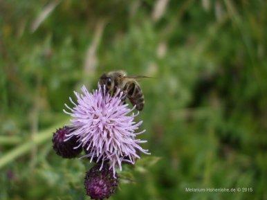 thistlebee[1]