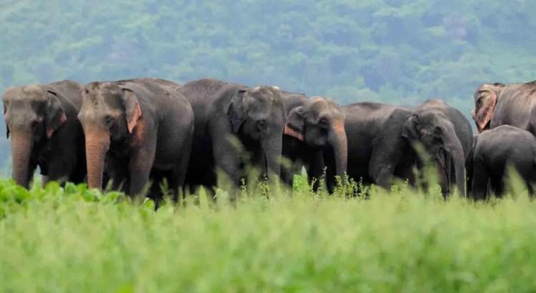 Elephant - The gentle giant