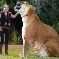 Dünyanın en büyük kedigilleri Aslan ile Kaplan'ın çiftleşmesiyle doğan ve Liger (Lion + Tiger) ismiyle bilinen hayvandır.