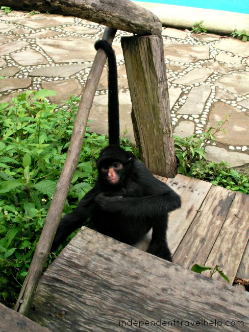 animal, monkey, spider monkey, animal refuge, animal sanctuary, bolivia, la send verde