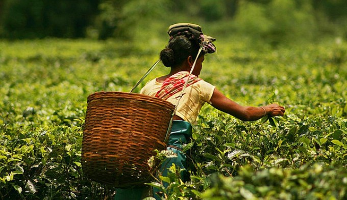 Tea crops can't be insured and farmers receive no compensation for losses due to climate change. (Photo by Akarsh Simha)