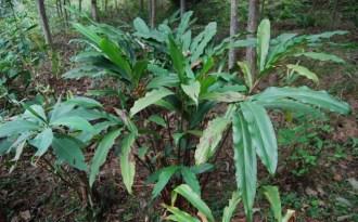 Blight threatens Sikkim cardamom crop
