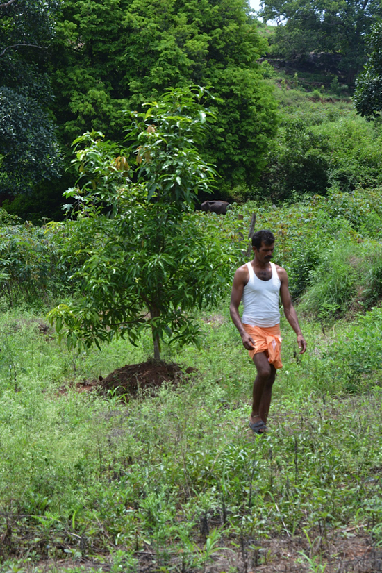 Palani from Oorpuram village in his farm where he cultivates horticultural trees mixed with other food crops (Image by S. Gopikrishna Warrier)