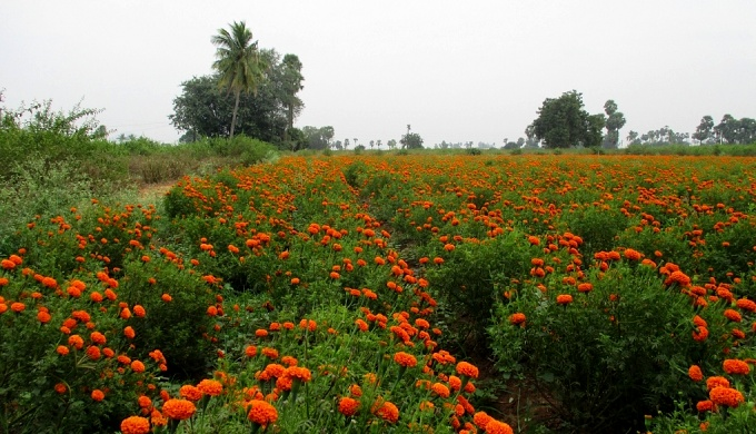 A marigold farm at the location of the proposed city (Image by S. Gopikrishna Warrier)