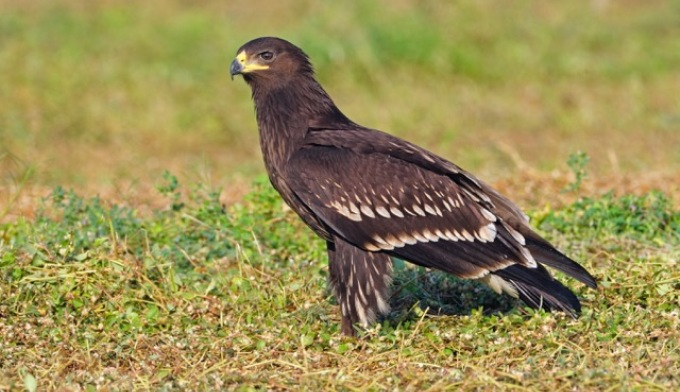 Greater Spotted Eagle, a bird that is usually found in dry areas of West Pakistan, Gangetic plains and north-eastern region is now being spotted in Kerala since 2001. (Image by Dileep Anthikad)