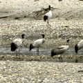 Arunachal hydropower project halted to save black-necked cranes