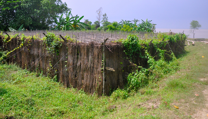 The human exodus outpaces the erosion in Ghoramara. While the island area has been reduced about one-fourth in its earlier size but the population has become nearly one-eighth. The mass migration has happened because of a loss in livelihoods. The lucrative betel leaf cultivation (pictured) has taken a severe beating due to continuous ingress of saline water. Increasing salinity in the water has also affected fishery, another major livelihood in the area. Many people have migrated to places like Kerala or Chennai in search of livelihood.