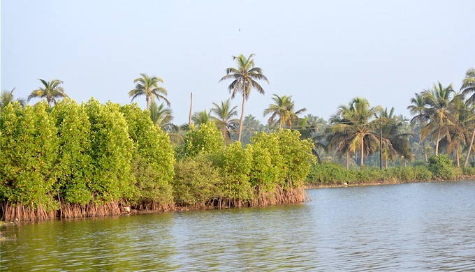 Mangrove trees are almost gone from river banks. (Photo by S. Gopikrishna Warrier)