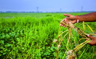 Flood-resistant rice fights for survival