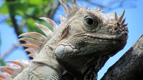 legwana zielonego (iguana iguana)