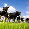 Cows stand in a field.