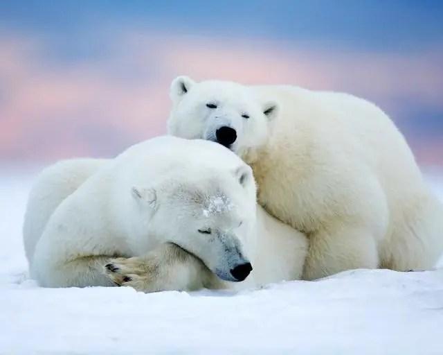 熊猫在熊科动物中战斗力能排第几?