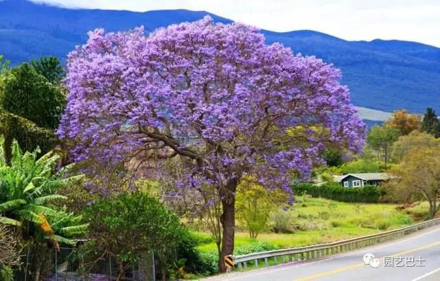 原產南美洲的藍花楹,花語是在絕望中靜靜等待離開的愛情!