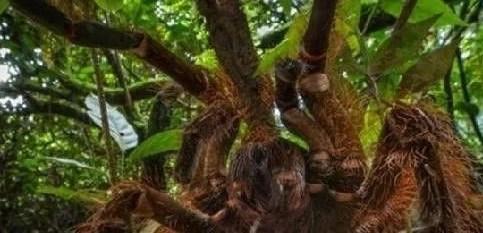 世界最大的蜘蛛 亚马逊巨型食鸟蜘蛛是最大的