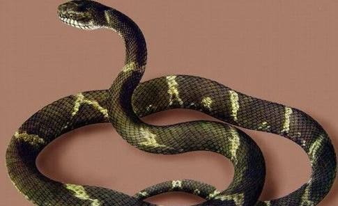 宠物蛇有毒吗 宠物蛇中一般无毒性的