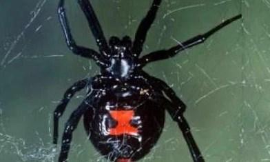什么蜘蛛有毒 四种世界上最致命的蜘蛛