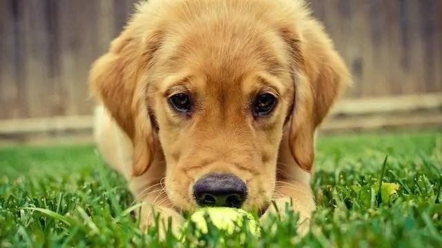 金毛幼犬时调皮,长大后暖男一个