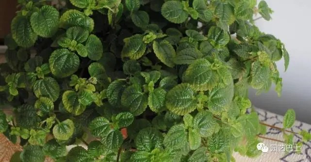 泡葉冷水花的栽培有哪些要點?
