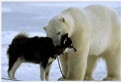摸头杀,北极熊与雪橇犬亲密无间,然而八个月以后