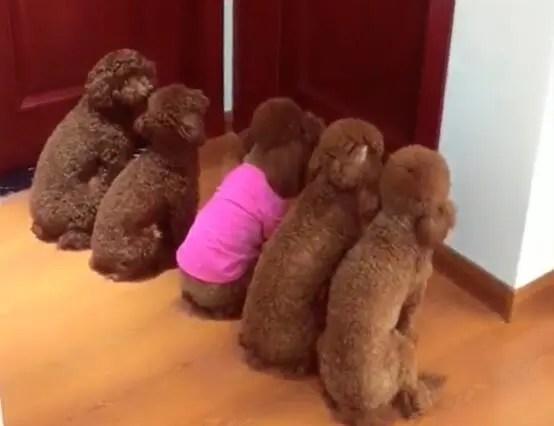 五只泰迪排队等女主起床,一开门个个都要上床撒欢!