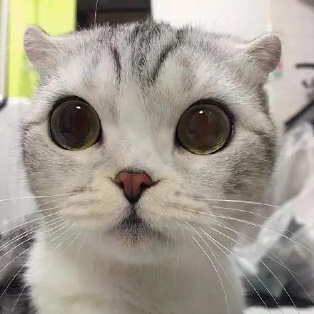 这只猫咪与众不同之处是耳朵翘翘的像两只小角,心已化!