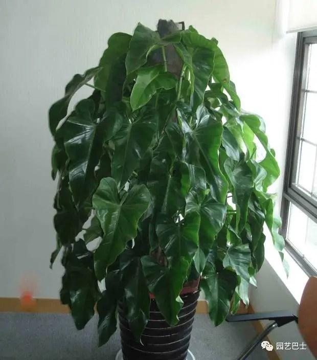 綠寶石喜林芋,又稱綠寶石或者長心形綠蔓絨,是一種旺家類植物!