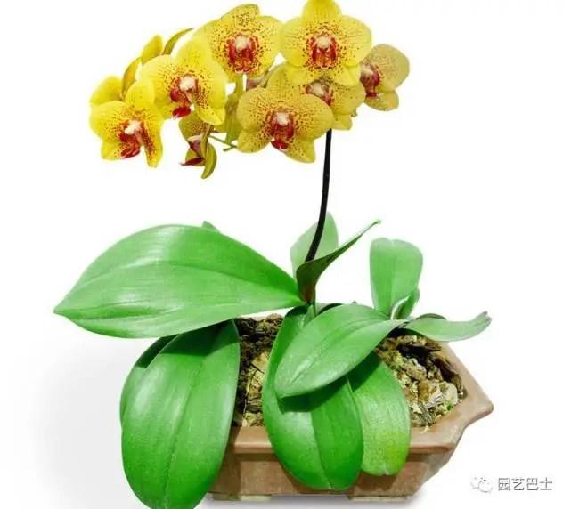 蝴蝶蘭,又名蝶蘭,可以極大地美化家居環境!