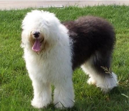 古代牧羊犬的护理方式,一种怕热的狗狗