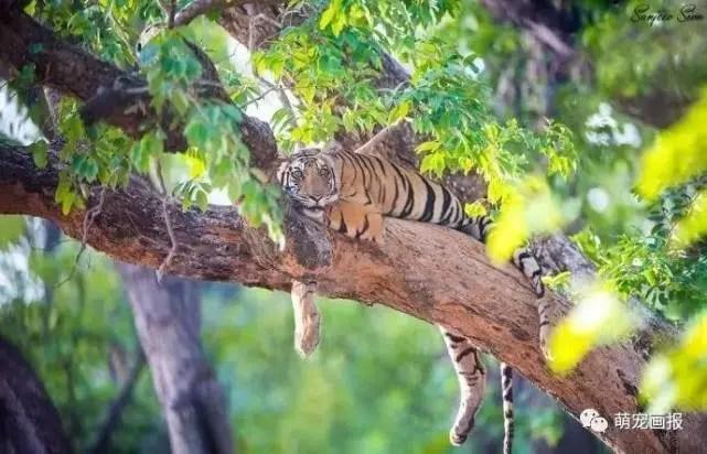 谁说老虎不会爬树?大王只是低调而已