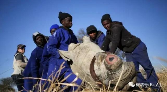 為免遭偷獵者毒手 南非瀕危犀牛無奈被鋸角