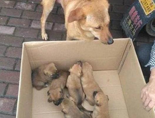 小土狗50元一只无人买,狗妈妈的眼里充满了悲伤!