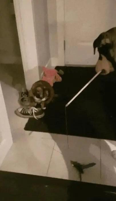 汪星人看寵主拿逗貓棒逗貓,之後只要見喵不開心,汪就會這樣做