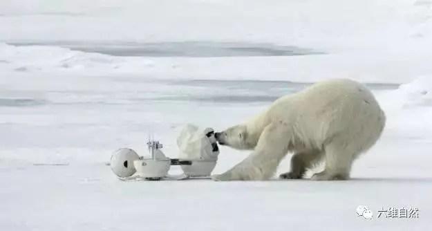 攝影師裝相機拍攝北極熊,卻被北極熊一通亂砸亂打