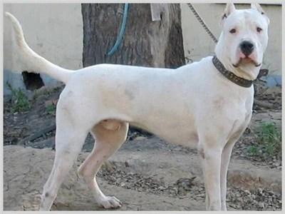 世界上最兇猛的十種狗,第一名為戰鬥而誕生