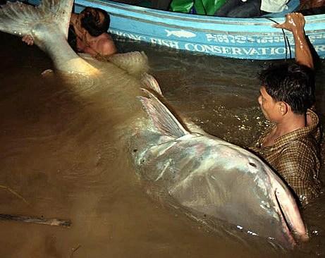 巨型大鯰魚56個人都抬不動 宛如一隻大胖熊