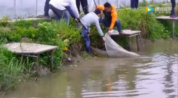 男子釣到200斤大魚,眾人幫忙撈上岸,看著讓人羨慕