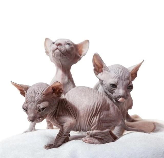 皺巴巴的無毛貓,怪物一樣的醜陋,價錢卻高的離譜!