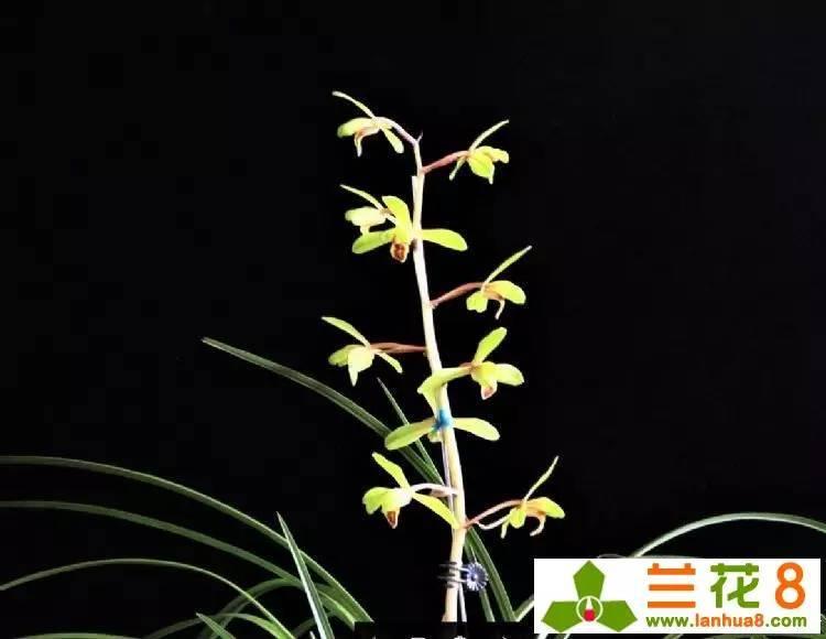 蘭花水栽的管理方法和栽培環境