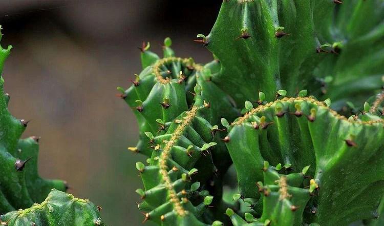 一種仙人掌植物——金麒麟養護方式!