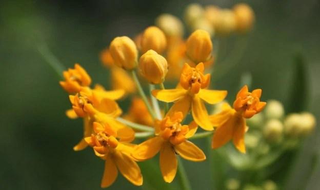 金鳳花又名尖尾鳳和馬利筋花的養護方式