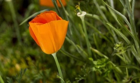 美國加利福尼亞州的州花——花菱草養護方式!