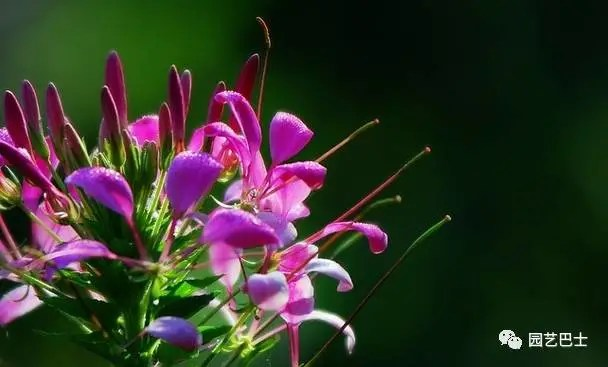 一種優良的蜜源植物——醉蝶花!