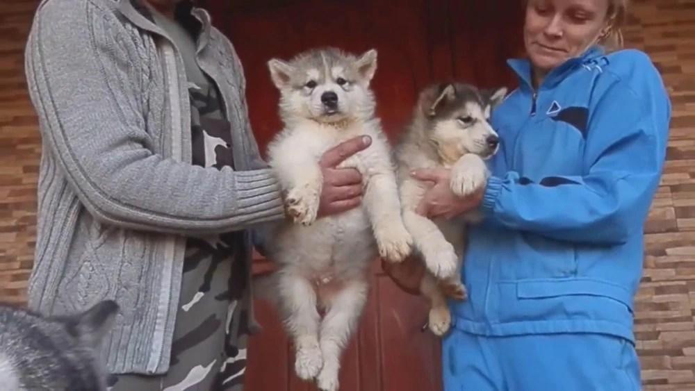 母狗看著自己小狗狗要送人,眼神讓人心疼不已!