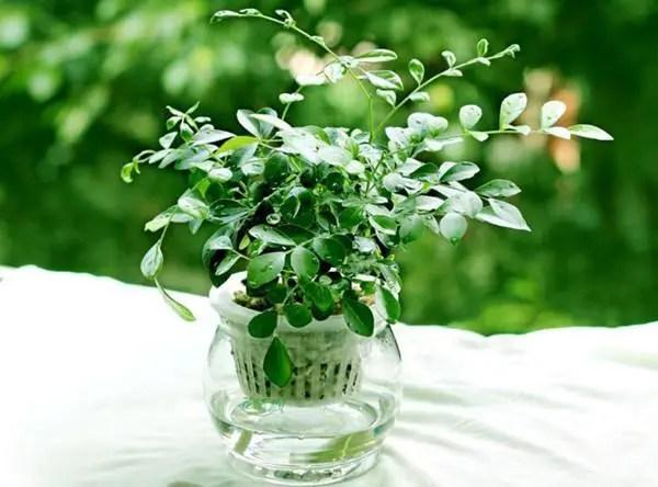 家居養花:水培花卉放入這些東西,花卉再也不會黃葉,還蹭蹭長!