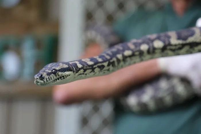 澳洲蟒蛇染上毒癮接受戒毒治療 通過皮膚吸毒